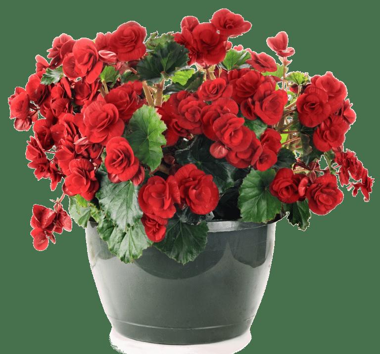 Begonia eli pauliinabegonia