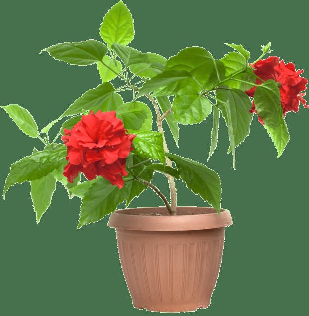 Kiinanruusu