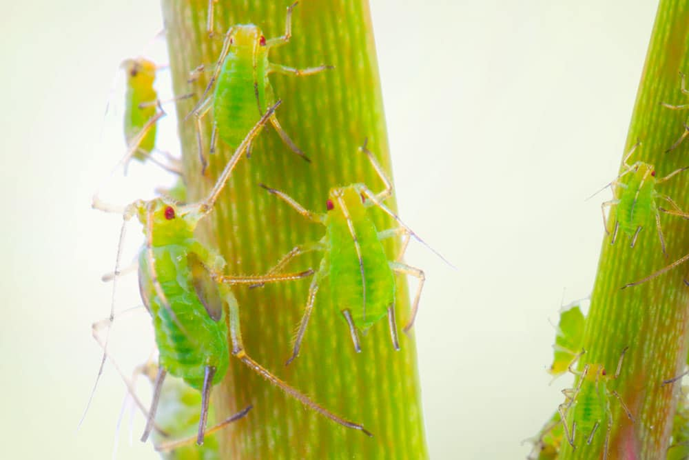 Tunnista kasvituholainen - lehtikirva